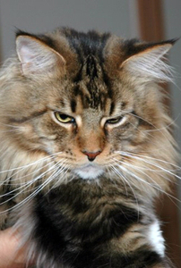Light_maine _coon